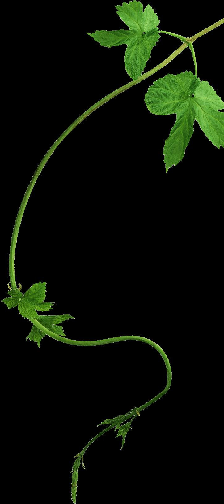 Branche de houblon